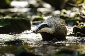 picture of badger  - European badger walking in the forest strem - JPG