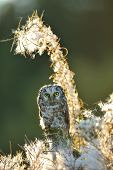 stock photo of small-hawk  - Boreal owl in beautifull backlight fuzzy straws