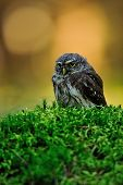 picture of small-hawk  - Eurasian pygmy owl standing on the green moss in forest - JPG