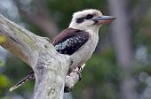 stock photo of kookaburra  - Kookaburra sits on a tree in a rainforest in Gold Coast Queensland Australia