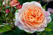 foto of rose  - Close up of a pink rose in the Rose Garden of Palmerston North North Island New Zealand - JPG