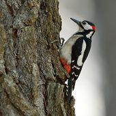stock photo of woodpecker  - woodpecker in natural habitat  - JPG