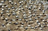 picture of gannet  - Muriwai gannet colony in Muriwai Regional Park New Zealand - JPG