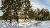 pic of siberia  - Sunny winter day in a pine forest - JPG