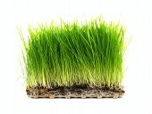 foto of enzyme  - Nutritious Tray Of Homegrown Wheatgrass on a White Bakground - JPG