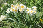 pic of narcissi  - The narcissi white bloom in the garden - JPG