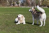 picture of siberian husky  - Siberian Husky and Golden Retriever walks at the stadium - JPG