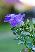 image of petunia  - Beautiful blooming blue petunia flower - JPG