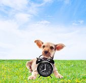 image of dog teeth  - on the green lawn funny dog holding in teeth alarm clock - JPG