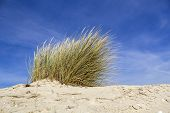 picture of european  - Ammophila arenaria a species of grass known by the common names European marram grass and European beachgrass - JPG