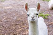 picture of lamas  - Full white llama  - JPG