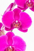 foto of moth  - Purple Moth orchids close up over white background - JPG