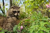 stock photo of raccoon  - A baby Raccoon playing in the garden.