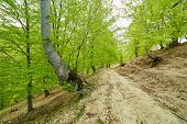 stock photo of trough  - Country road trough a beech forest on springtime - JPG