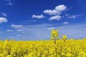 stock photo of rape-seed  - yellow rape field with blue sky on sunny day - JPG