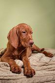 stock photo of hungarian  - Dog Hungarian Vizsla pointer puppy Brown dog - JPG