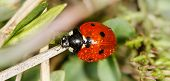 picture of water bug  - ladybird insect climbing flower stem with water drops  - JPG