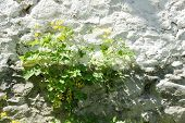 image of stone house  - flower on the stone wall of a village house in Bulgaria