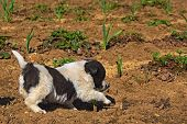 image of little puppy  - A little funny puppy white with black spots walks in the garden in early spring - JPG