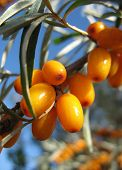 pic of sea-buckthorn  - Closeup of sea - JPG