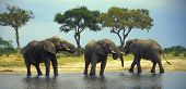 pic of veld  - Three african elephant bulls by the waterhole in Savuti region - JPG