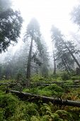 Misty Wet Morning In The Woods. Forest With Tree Trunks And Tourist Trails poster