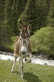 funny donkey near river in  Tien Shan kyrgyz mountain