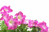 stock photo of petunia  - Pink petunia border with leaf isolated on white - JPG