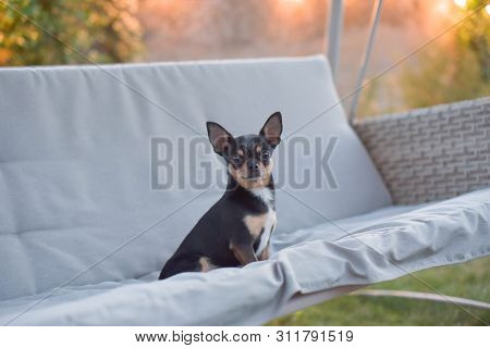 poster of Chihuahua Dog Chihuahua Sits On A Swing. Tricolor Dog Black-and-white-brown. The Dog Is Resting On N