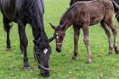 Black Kladrubian Horse, Mare With Foal.black Horse, Mare With Foal. Birth Of Foal In Spring poster