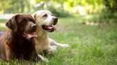 Cute Labrador Retriever Dogs On Green Grass In Summer Park. Space For Text poster