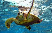 pic of coral reefs  - peery looking turtle in the Indian Ocean - JPG
