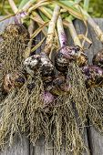 Freshly Picked Garlic On A Bench. A Close Up Of Freshly Picked Garlic And Stems On A Wooden Bench. poster