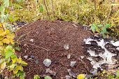 Large Anthill With Fallen Leaves And Needles In The Birch Forest poster