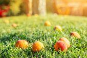 Ripe Tasty Sweet Juicy Fallen Apricots Lying In Green Grass Lawn In Fruit Garden At Backyard Due To  poster