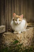 Orange And White Cat With Yellow Eyes, Pink Nose And Long Whiskers Sitting On Low Wall, Brown Wooden poster
