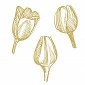 Tulip Flower Graphic Sketch Illustration. Botanical Plant Illustration. Vintage Medicinal Herbs Sket poster