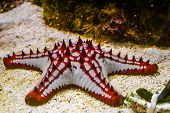Beautiful African Red Knob Sea Star In Closeup, Tropical Starfish Specie From The Indo-pacific Ocean poster