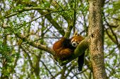Red Panda Sleeping High In A Tree, Endangered Animal Specie From Asia poster