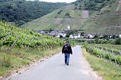 stock photo of moselle  - Walking through the wineyards in the Moselle region - JPG