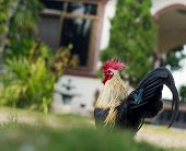 image of bantams  - Bantam walk on the grass in my house - JPG