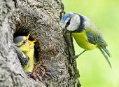 image of tit  - The Blue Tit  - JPG