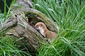 picture of ermine  - Weasel eating food that it - JPG
