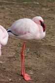 Flamingo menor