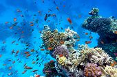 stock photo of fish  - coral reef with soft and hard corals with exotic fishes anthias on the bottom of tropical sea on blue water background - JPG