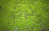 picture of lichenes  - Green lichen background on the rock Processed