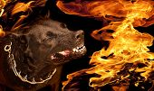 stock photo of growl  - Portrait of a dog with a wicked grin growl in flames - JPG