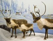 stock photo of caribou  - A family of caribou during winter in Saskatchewan Canada - JPG