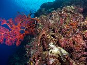 Turtle On A Coral Reef At Bunaken, Indonesia