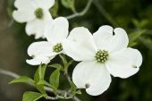 stock photo of dogwood  - nice closeup of dogwood blossom front one is sharpdelicate details - JPG